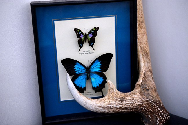 Picked up this gorgeous butterfly frame from a market in london. And the Antler was found at our local deer park